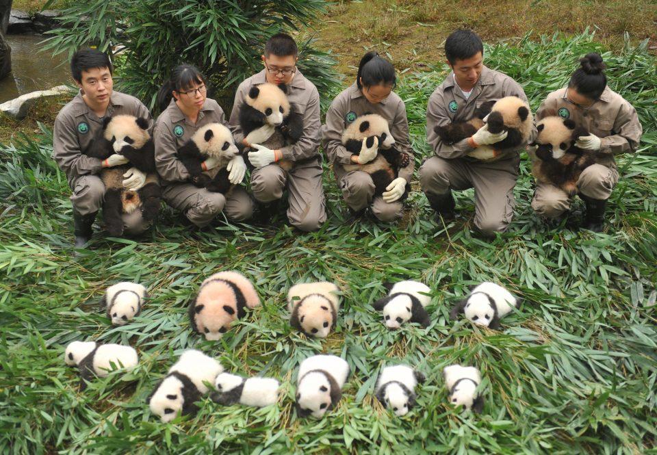 nesli tükenen pandalar