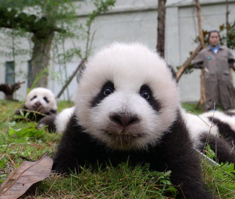 panda yavrusu