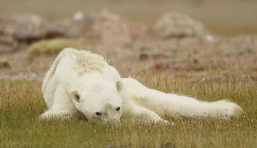 kutup ayısı buzullar