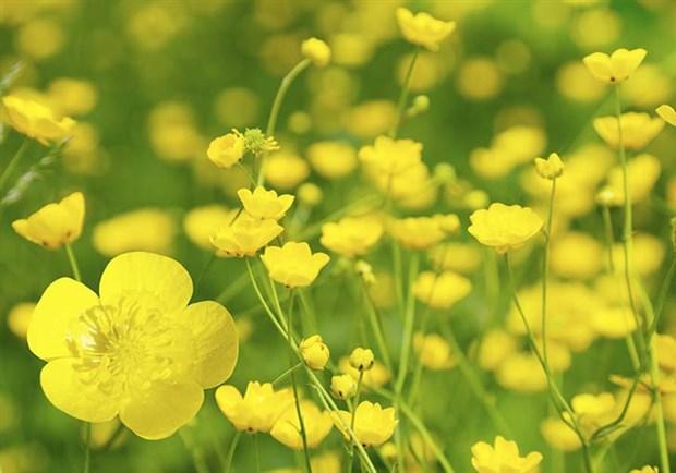 buttercup düğün çiçeği